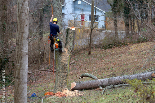 Roped in Arborist Taking Down a Tree Wallpaper Mural