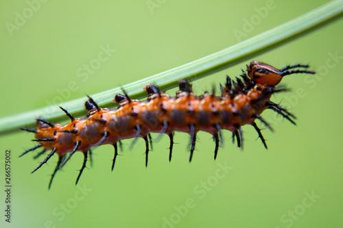 Macro Caterpillar Fototapet