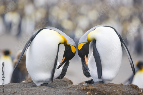 Poster Antarctica King penguins scratching simultaneously on South Georgia Island