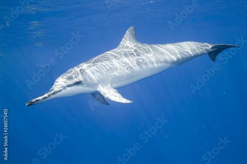 Fotomural Spinner dolphin swimming underwater