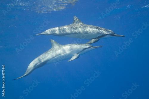Fotografía Spinner dolphins swimming in the ocean