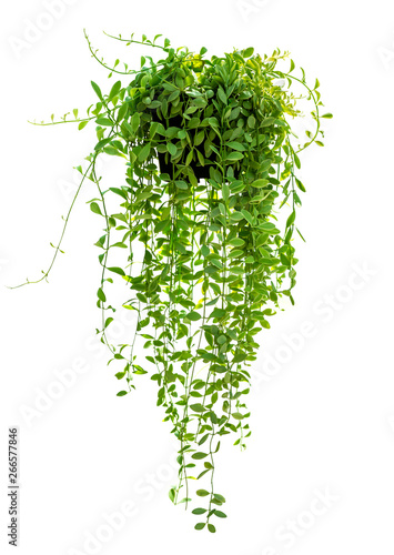 Fotografía  Hanging houseplant in pot for garden and home decoration isolated on white backg