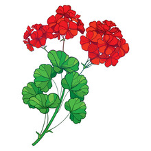 Branch With Outline Red Geranium Or Cranesbills Flower Bunch And Ornate Green Leaf Isolated On White Background.
