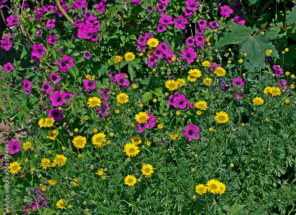 Detail of a flowering border with Geraniums and Chrysanthemum frutescens