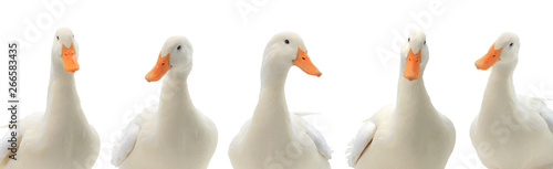 Slika na platnu portrait five ducks isolated on white