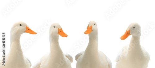Photographie portrait four ducks isolated on white