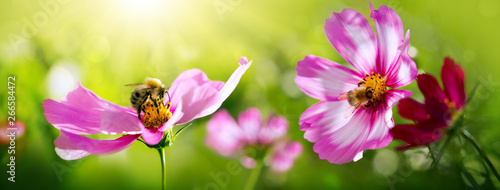 Poster Bee Bee working on white cosmos flower. Summer background.