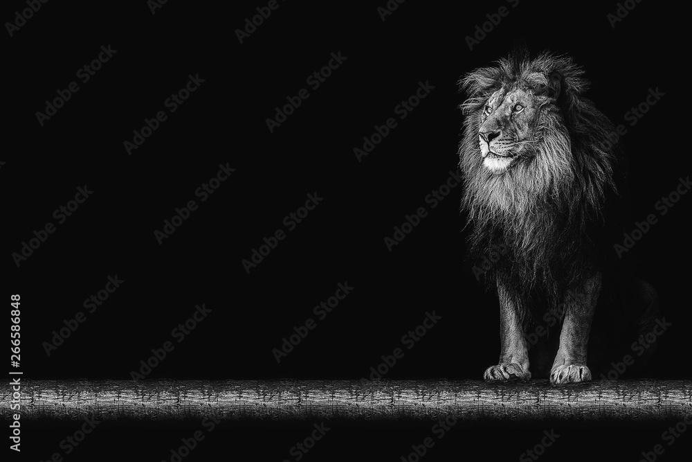 Fototapeta Portrait of a beautiful lion and copy space. Lion in dark