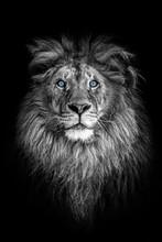 Portrait Of A Beautiful Lion A...