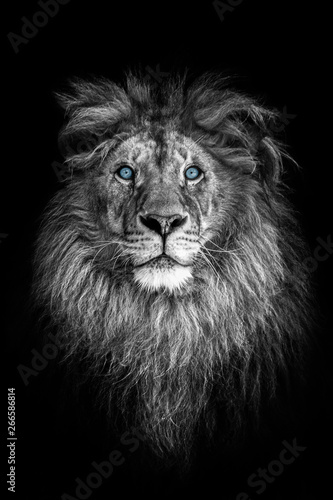Fototapety, obrazy: Portrait of a beautiful lion and copy space. Lion in dark