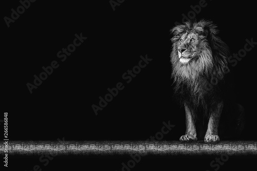 Portrait of a beautiful lion and copy space. Lion in dark Canvas Print