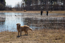 Hunting With A Dog For Ducks. Golden Retriever On The Hunt.