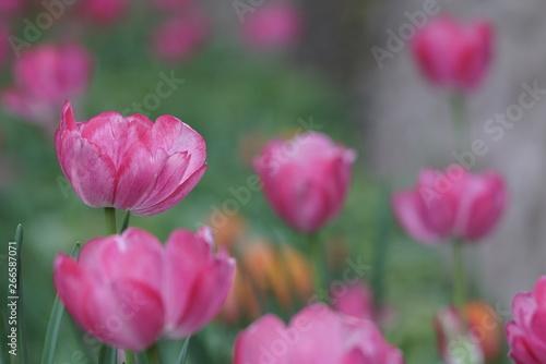 Montage in der Fensternische Darknightsky Pink magenta tulips