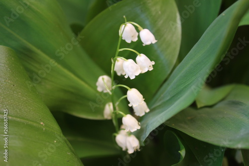 Poster Muguet de mai Convallaria majalis common Lily of the valley in blossom with beautiful white bell flowers