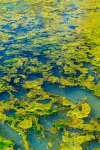 Green Algae Closeup Texture Ba...