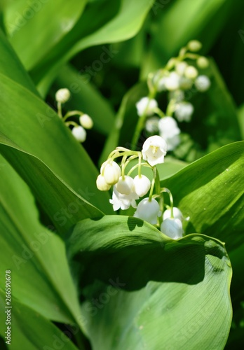 Poster Muguet de mai Flowering f the lily of the valley