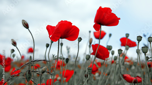 Foto auf Leinwand Khaki Red poppies isolated on a blurred gray background.