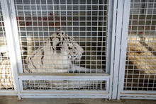 White Tiger Kept In Cage Insid...