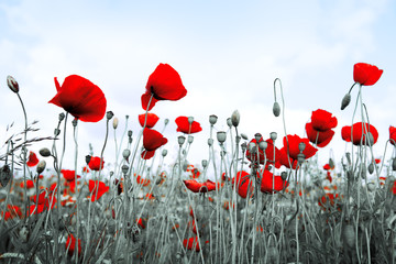 FototapetaRed poppies isolated on a blurred gray background.