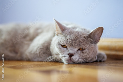 The cat lies on the floor. The concept of pets. Wallpaper Mural