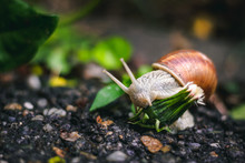 Cute Small Snail Standing On Concrete Eating A White Dandelion In The Park – Wet And Slimy Mollusk Crawling And Climbing A Plant In The Garden