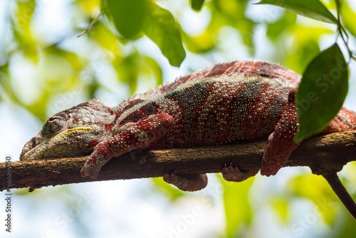 Poster Chamaleon Chameleon on a tree. close up