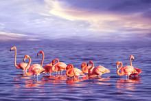 A Flock Of Beautiful Pink Flam...
