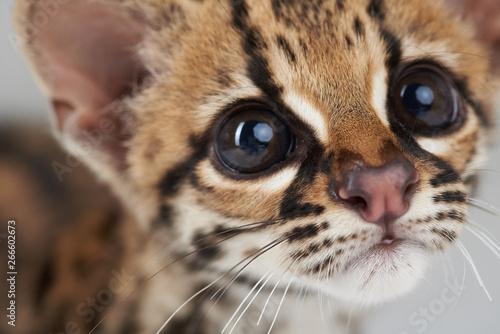 Fotografia Portrait of curious wild cat