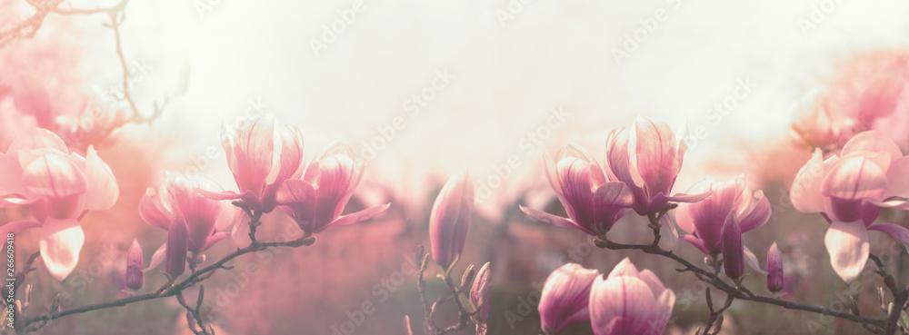 Fototapeta Magnolia flower, beautiful flowering Magnolia flowers in spring