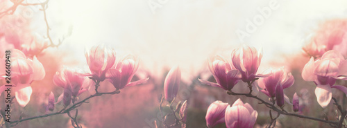 Spoed Fotobehang Bloemenwinkel Magnolia flower, beautiful flowering Magnolia flowers in spring