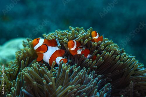 Clownfishes in anamone Fototapet