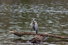 Great Blue Heron Preens Its Fe...