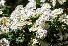 White Alyssum Flowering Plant Under Sun Light - Photograph