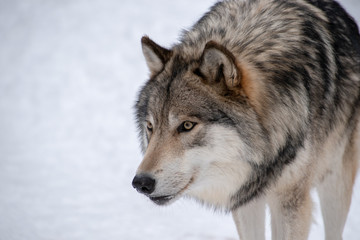 A Timber Wolf staring at an...