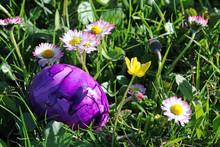 Ein Lilanes Osterei Zwischen Gänseblümchen In Der Wiese. Ein Buntes Ei An Ostern Im Gras