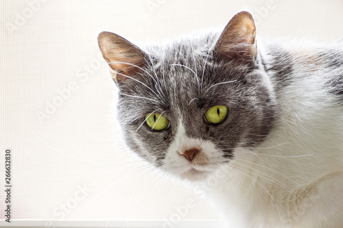Close up of gray and white cat with green eyes, looking at the camera; light colored background