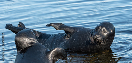 The Ladoga ringed seals Slika na platnu