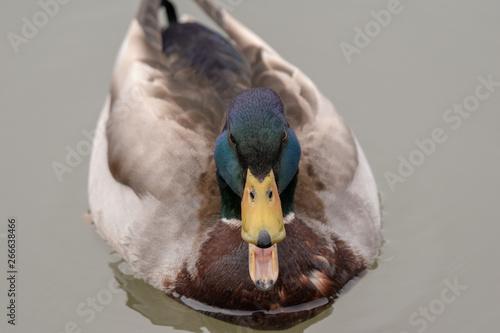 Fotografie, Obraz  A Mallard Duck quacking with it's mouth open as it swims