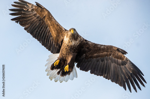 Adult White-tailed eagle in flight Canvas Print