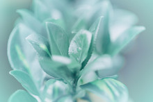 Beautiful Light Green Blue Leaves Flower With Water Drops On Blurry Background Bokeh. Toned With Filters And Light Leak. Soft Selective Focus. Macro Closeup Nature Pattern.
