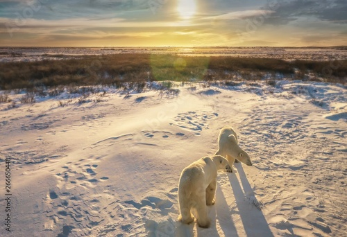 Foto op Plexiglas Ijsbeer Two adult polar bears together in their natural Arctic snowy tundra habitat, as the sunrise casts golden light on the wide landscape scene. Churchill, Canada.