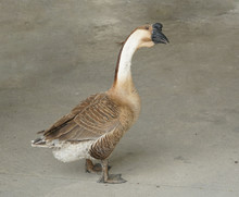 African Chinese Goose