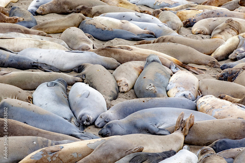 seals sleeping at the beach near San Simeon Fototapeta