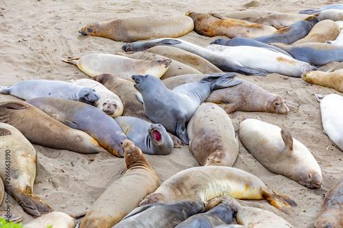 seals sleeping at the beach near San Simeon Slika na platnu