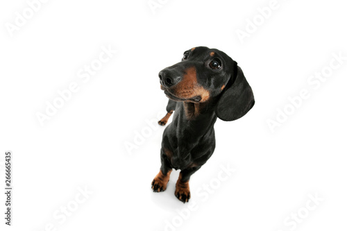 Foto op Aluminium Crazy dog Studio shot of an adorable Dachshund looking curiously
