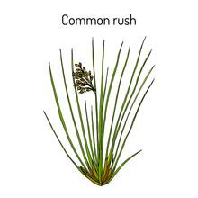 Common Or Soft Rush (Juncus Effusus), Medicinal Plant