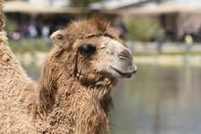 Details Of A Desert Camel