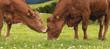 canvas print picture - Zwei liebe Kühe auf der Alm