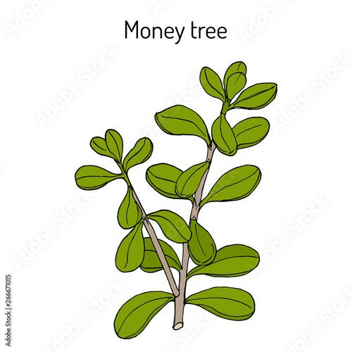 Poster Vegetal Money tree or jade plant (Crassula portulacea), medicinal plant