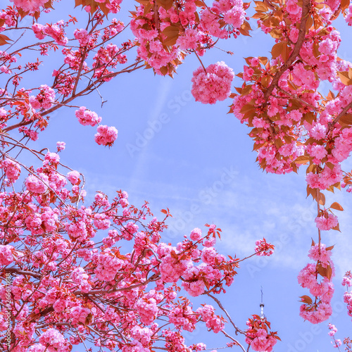 Beautiful sakura or cherry trees with pink flowers in spring against blue sky